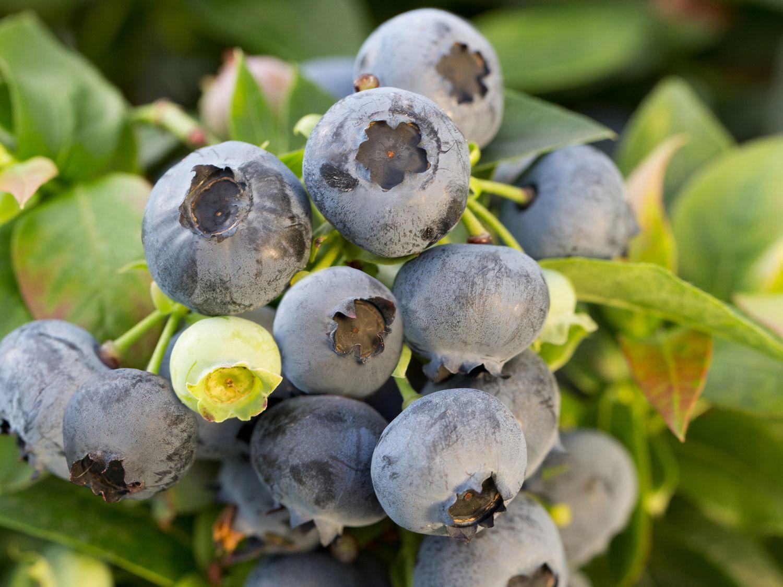 heidelbeere brazelberry 39 jelly bean 39 vaccinium corymbosum brazelberry 39 jelly bean. Black Bedroom Furniture Sets. Home Design Ideas