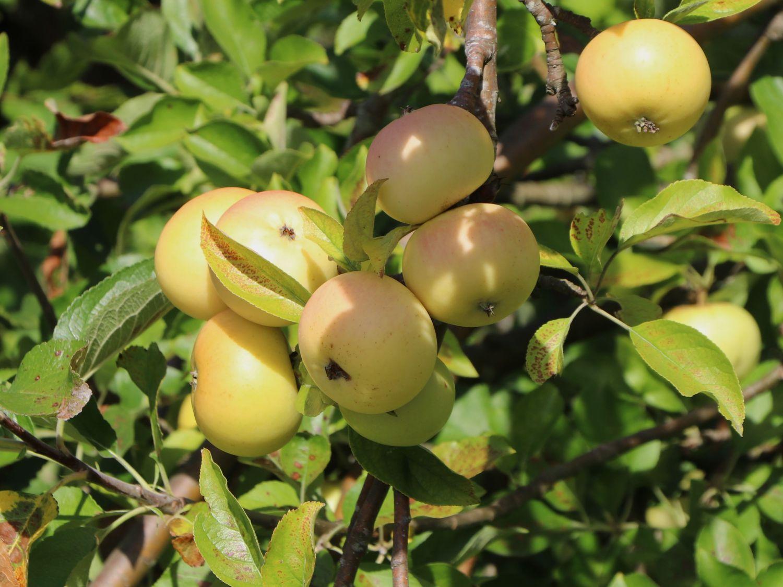 Herbstapfel Croncels Glasapfel Malus Croncels