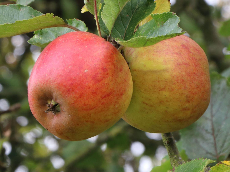 170 cm im Container Apfelbaum Apfel /'Holsteiner Cox/'  Malus Halbstamm ca