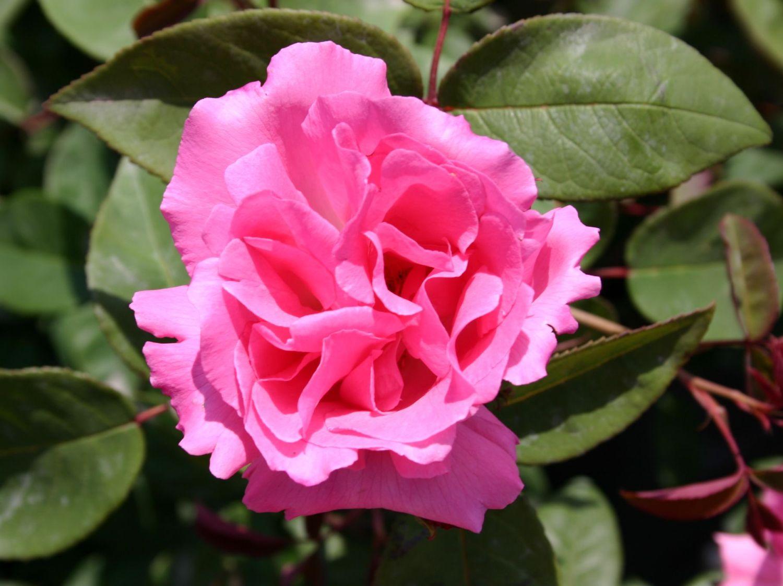 historische rose 39 zephirine drouhin 39 rosa 39 zephirine. Black Bedroom Furniture Sets. Home Design Ideas