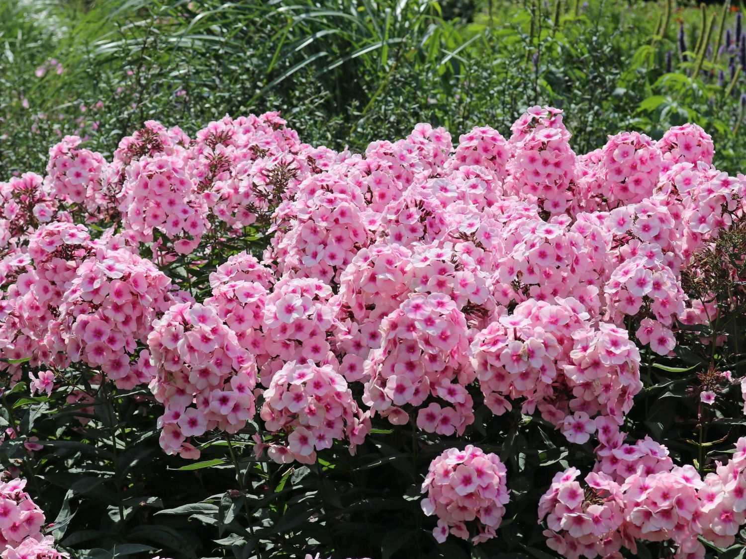 Hohe Flammenblume Bright Eyes Phlox Paniculata Bright Eyes