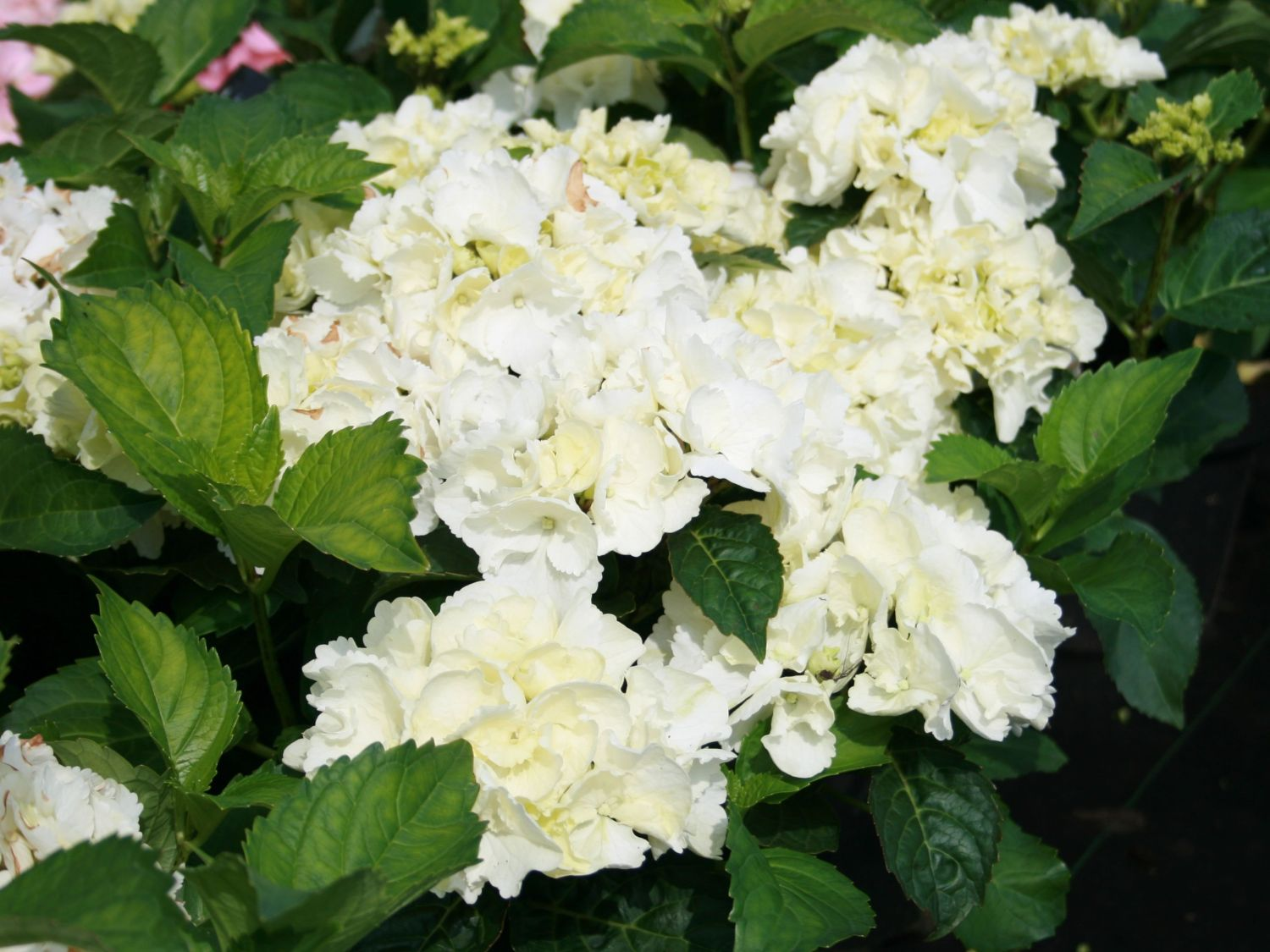 hortensie 39 schneeball 39 saxon hydrangea macrophylla. Black Bedroom Furniture Sets. Home Design Ideas