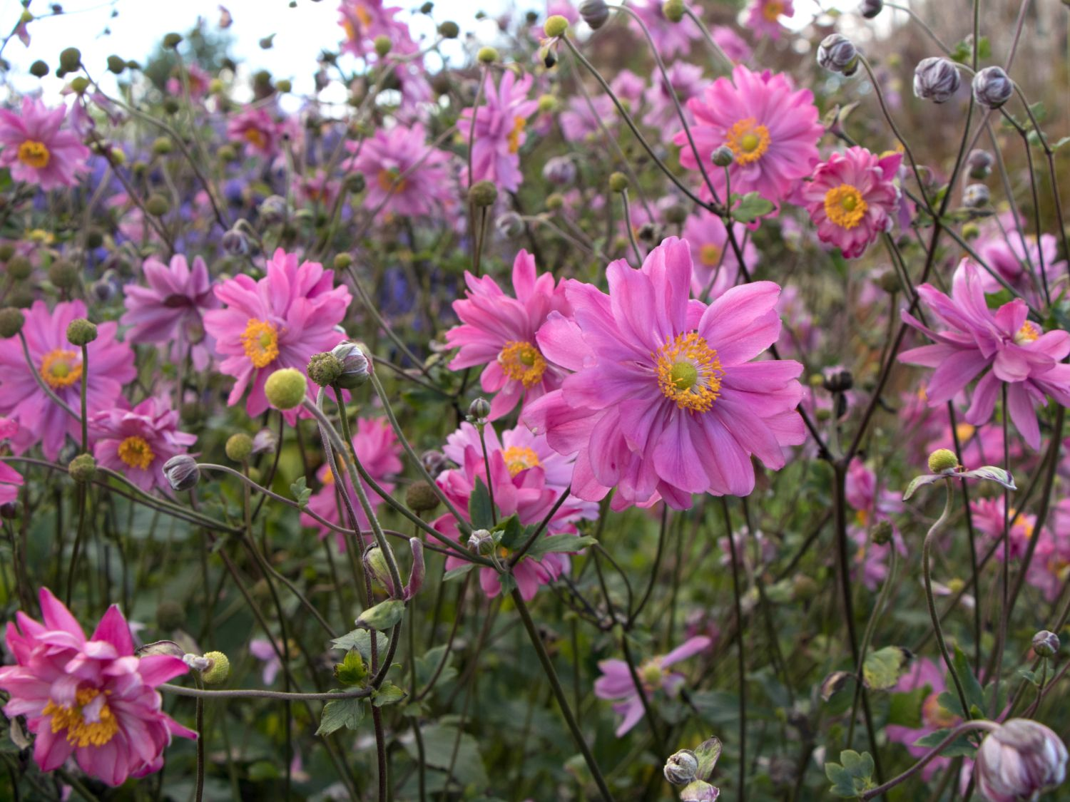 Japan Herbst Anemone Bressingham Glow Anemone Japonica