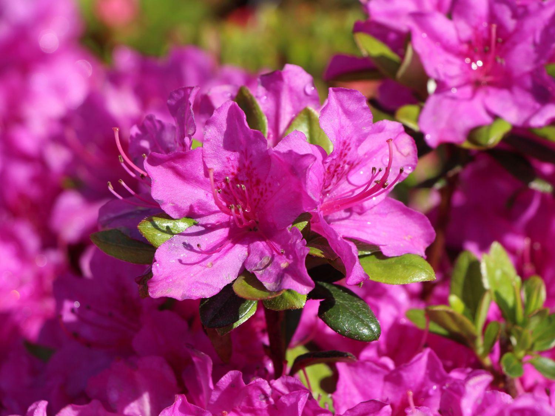 japanische azalee 39 purpurtraum 39 rhododendron obtusum 39 purpurtraum 39 baumschule horstmann. Black Bedroom Furniture Sets. Home Design Ideas