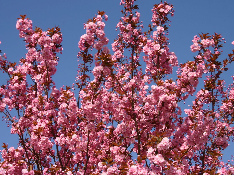 Japanische Nelkenkirsche Kanzan Prunus Serrulata Kanzan
