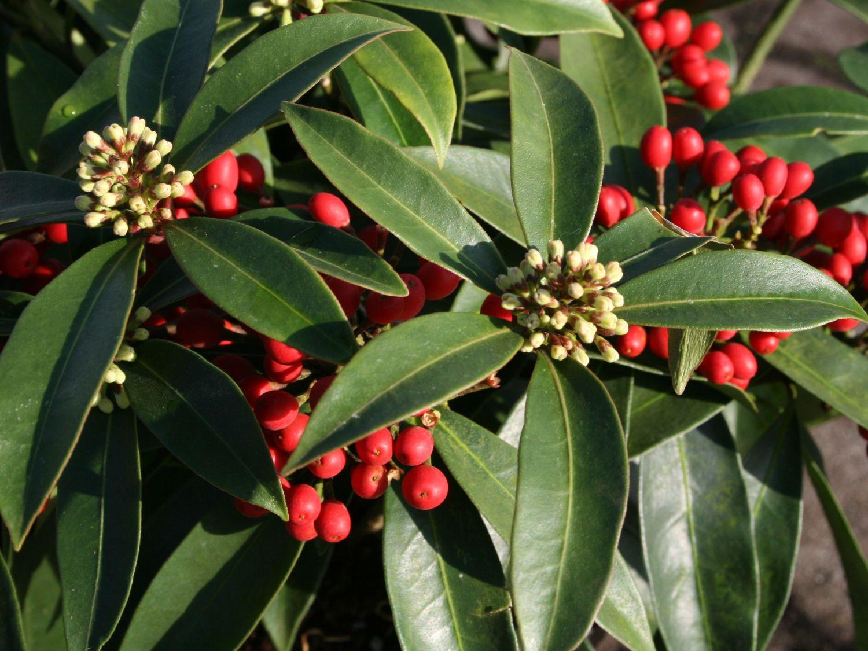 Japanische skimmie skimmia reevesiana baumschule horstmann for Japanische pflanzen