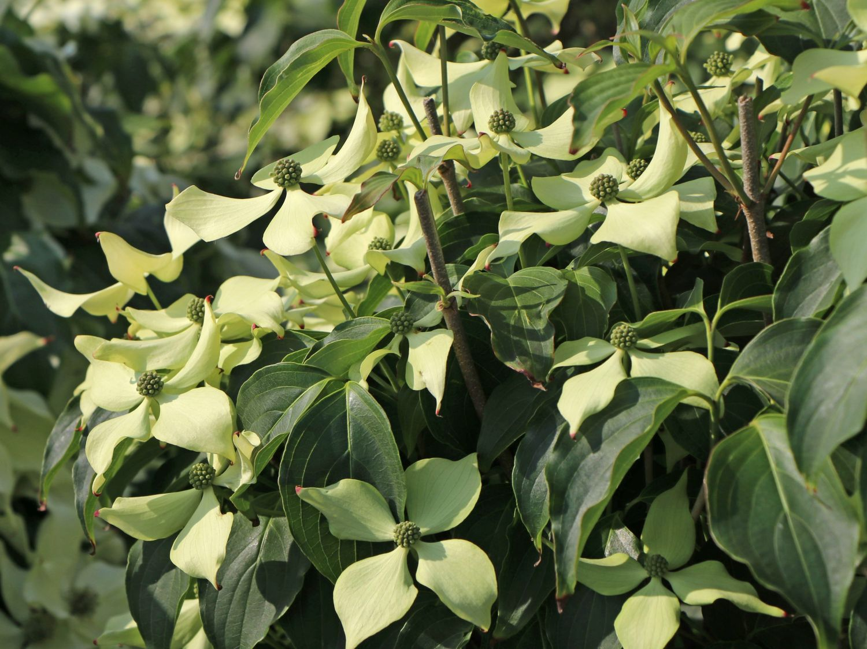 Japanischer Blumen Hartriegel Bodnant Cornus Kousa Bodnant