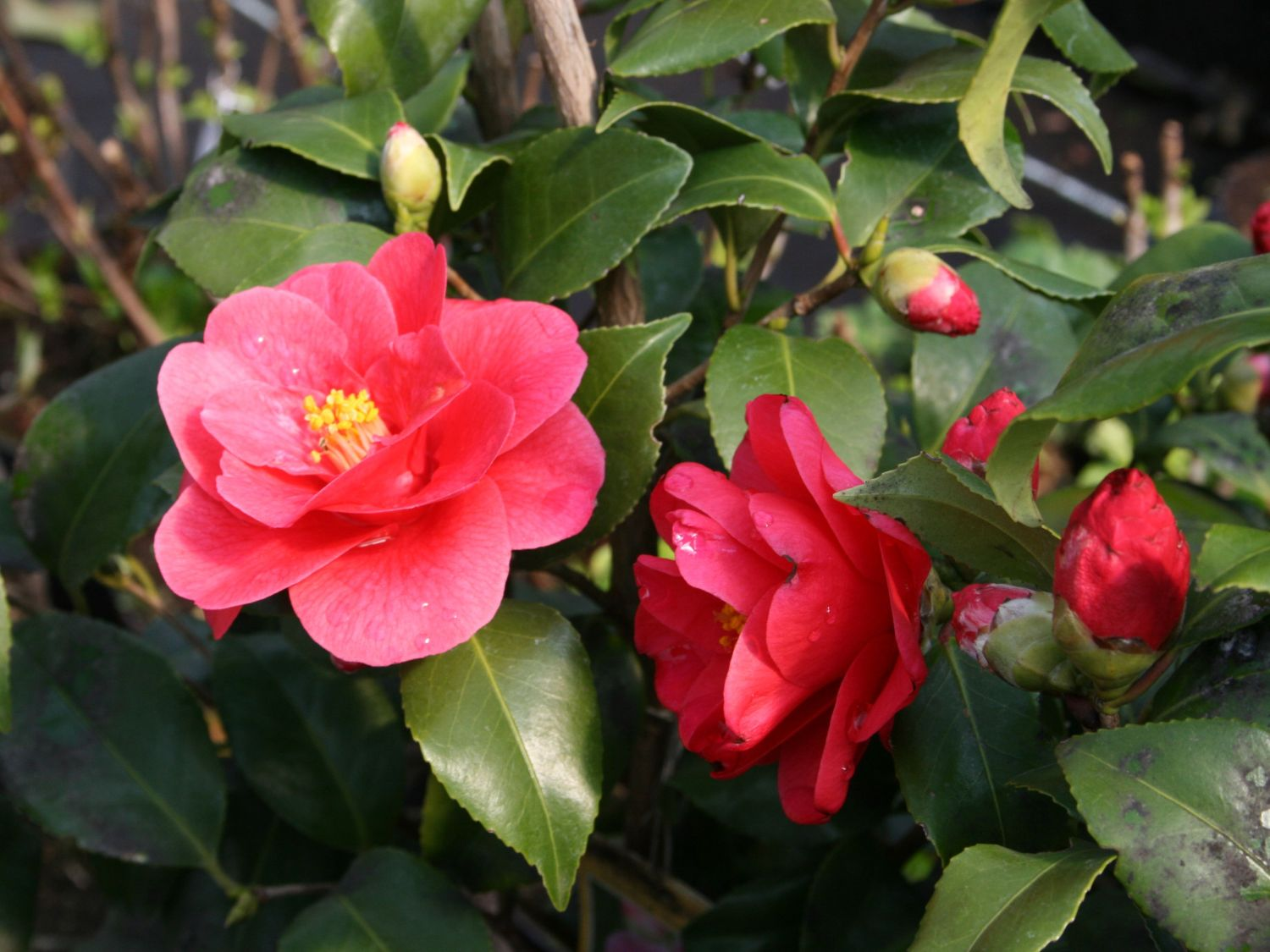 kamelie mary williams camellia japonica mary williams