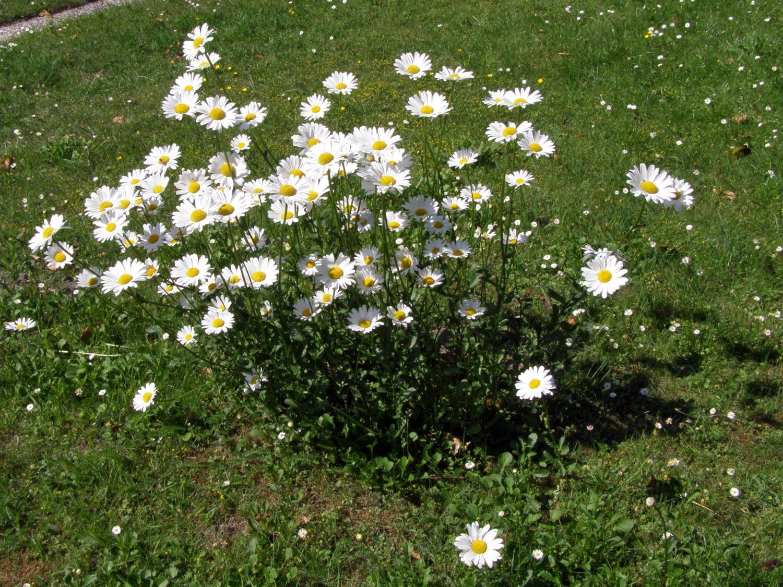 Kleine Margerite Leucanthemum Vulgare Für Deinen Garten