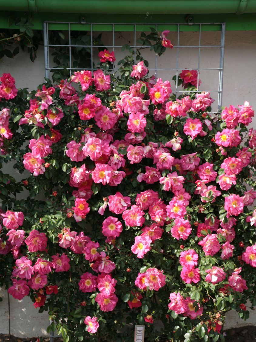 kletterrose 39 bajazzo 39 rosa 39 bajazzo 39 adr rose baumschule horstmann. Black Bedroom Furniture Sets. Home Design Ideas