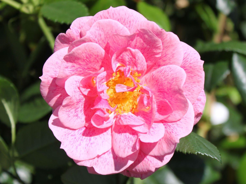 kletterrose 39 camelot 39 rosa 39 camelot 39 adr rose. Black Bedroom Furniture Sets. Home Design Ideas
