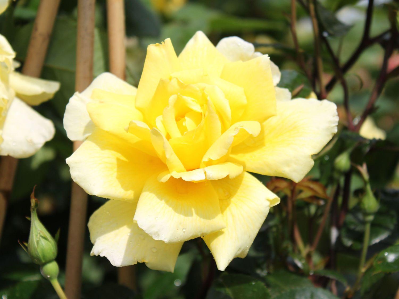 Golden shower rose, fotos porno teen