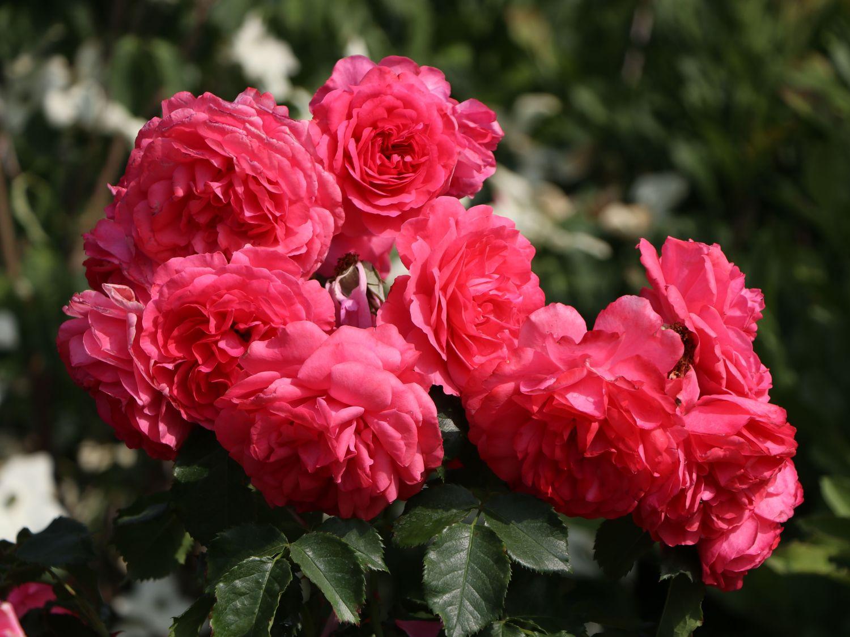 kletterrose 39 rosarium uetersen 39 rosa 39 rosarium. Black Bedroom Furniture Sets. Home Design Ideas