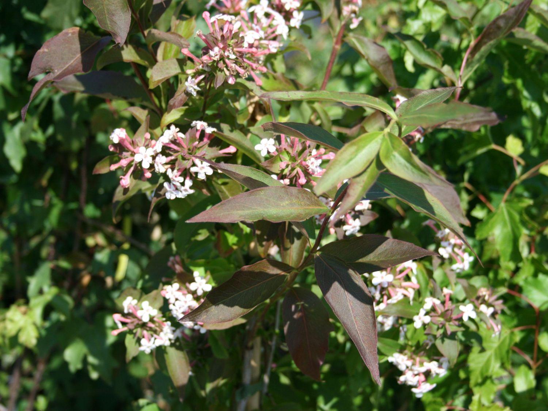 Koreanische Abelie Abelia Mosanensis Baumschule Horstmann