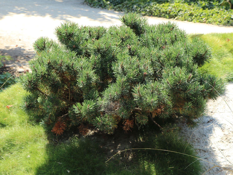 Kriechkiefer Zwerglatsche Zwergkiefer Kniekiefer Pinus Mugo