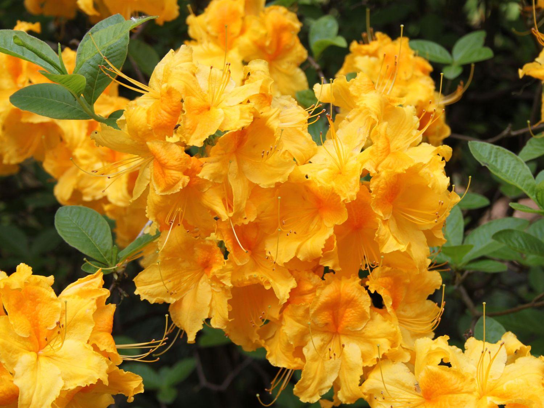 laubabwerfende azalee 39 goldpracht 39 rhododendron luteum. Black Bedroom Furniture Sets. Home Design Ideas