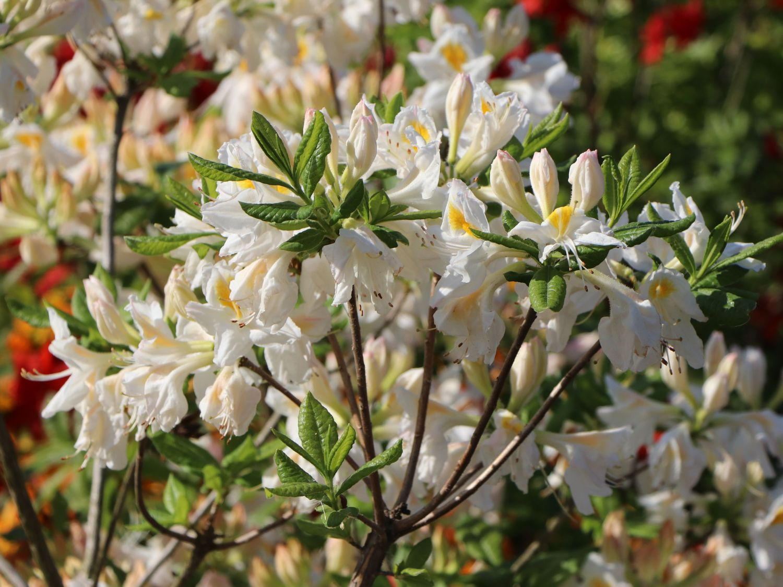 laubabwerfende azalee 39 persil 39 rhododendron luteum 39 persil 39 baumschule horstmann. Black Bedroom Furniture Sets. Home Design Ideas