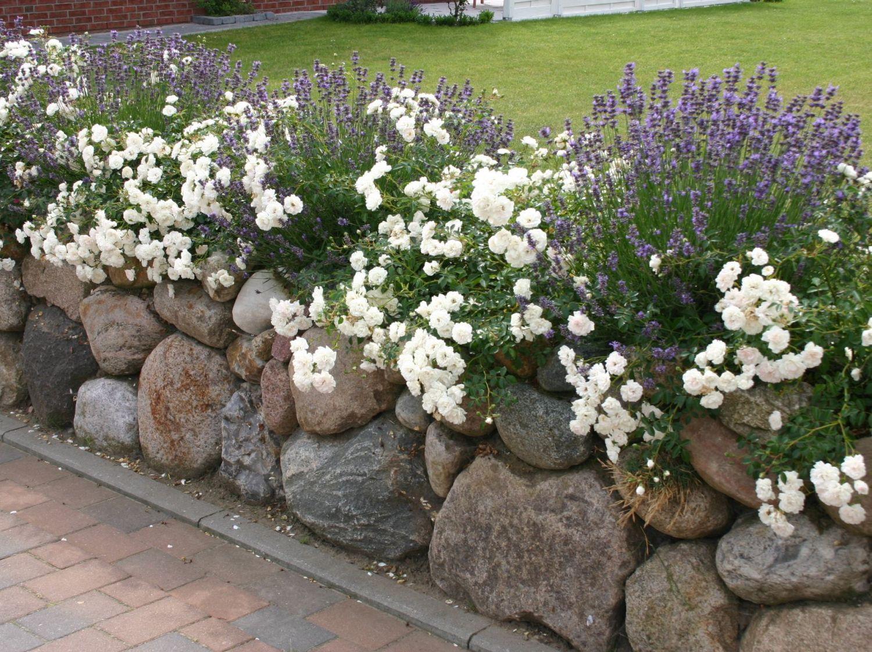 Super Lavendel 'Hidcote Blue' / 'Strain' - Beste Sorten & Stauden-Wissen @WQ_13