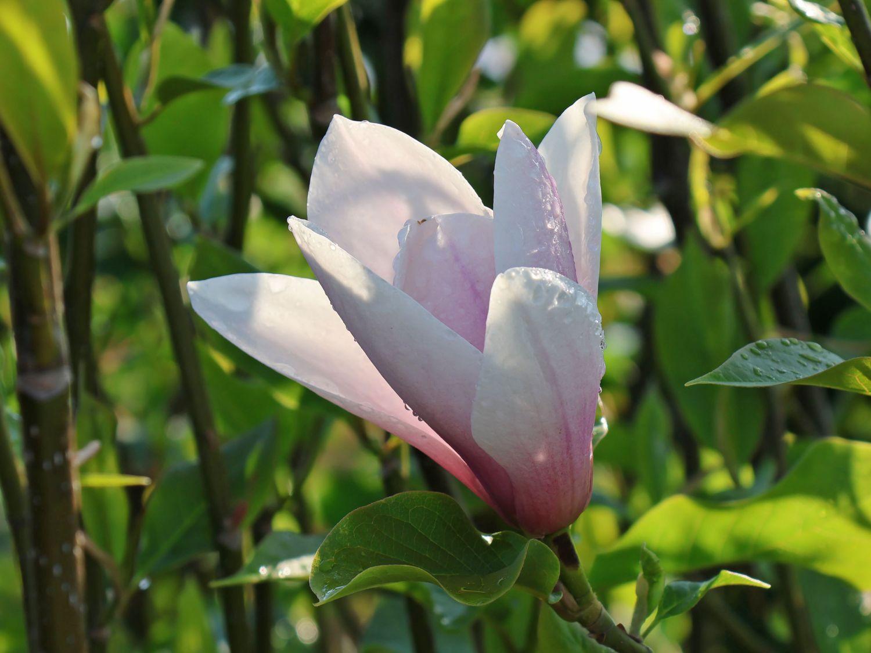 magnolie 39 heaven scent 39 magnolia soulangiana 39 heaven scent 39 baumschule horstmann. Black Bedroom Furniture Sets. Home Design Ideas