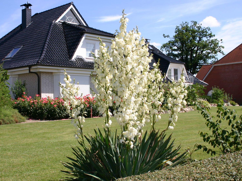 palmlilie yucca filamentosa baumschule horstmann. Black Bedroom Furniture Sets. Home Design Ideas