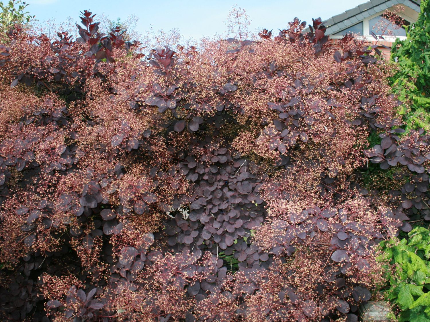 Roter Per 252 Ckenstrauch Royal Purple Cotinus Coggygria