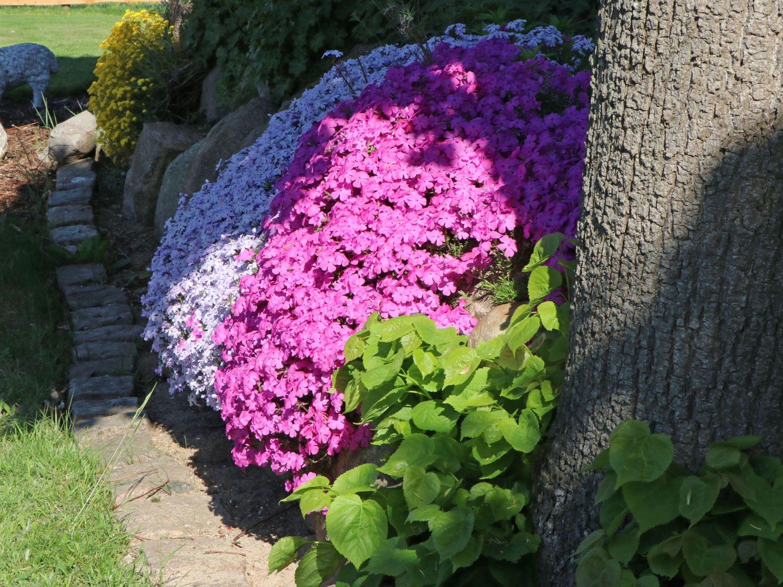 Mac Daniels Cushion 30 Stück Teppichphlox  Flammenblume rosa  Phlox sub