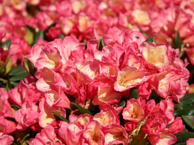 rhododendron 39 barbarella 39 rhododendron yakushimanum. Black Bedroom Furniture Sets. Home Design Ideas