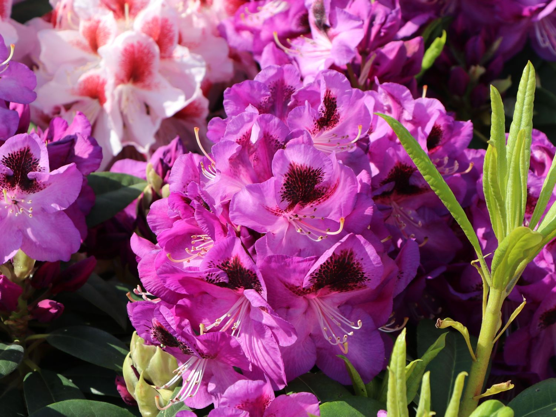 rhododendron 39 bariton 39 rhododendron hybride 39 bariton. Black Bedroom Furniture Sets. Home Design Ideas