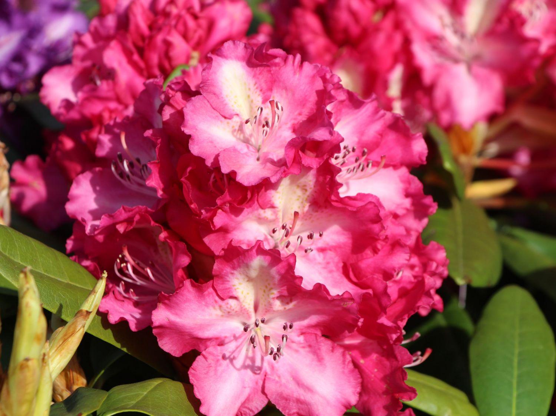 rhododendron 39 berlinale 39 rhododendron hybride 39 berlinale 39 baumschule horstmann. Black Bedroom Furniture Sets. Home Design Ideas