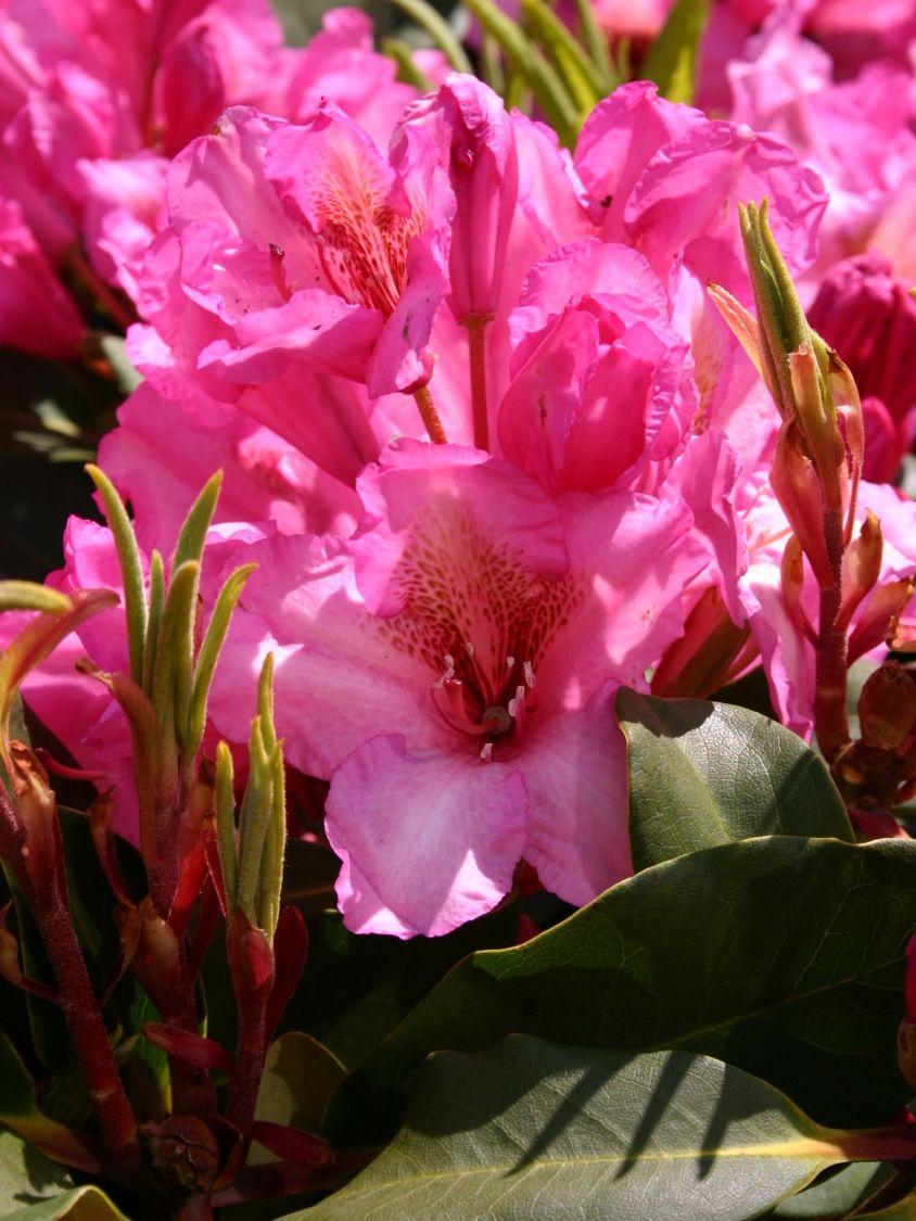 rhododendron 39 duke of york 39 rhododendron hybride 39 duke. Black Bedroom Furniture Sets. Home Design Ideas