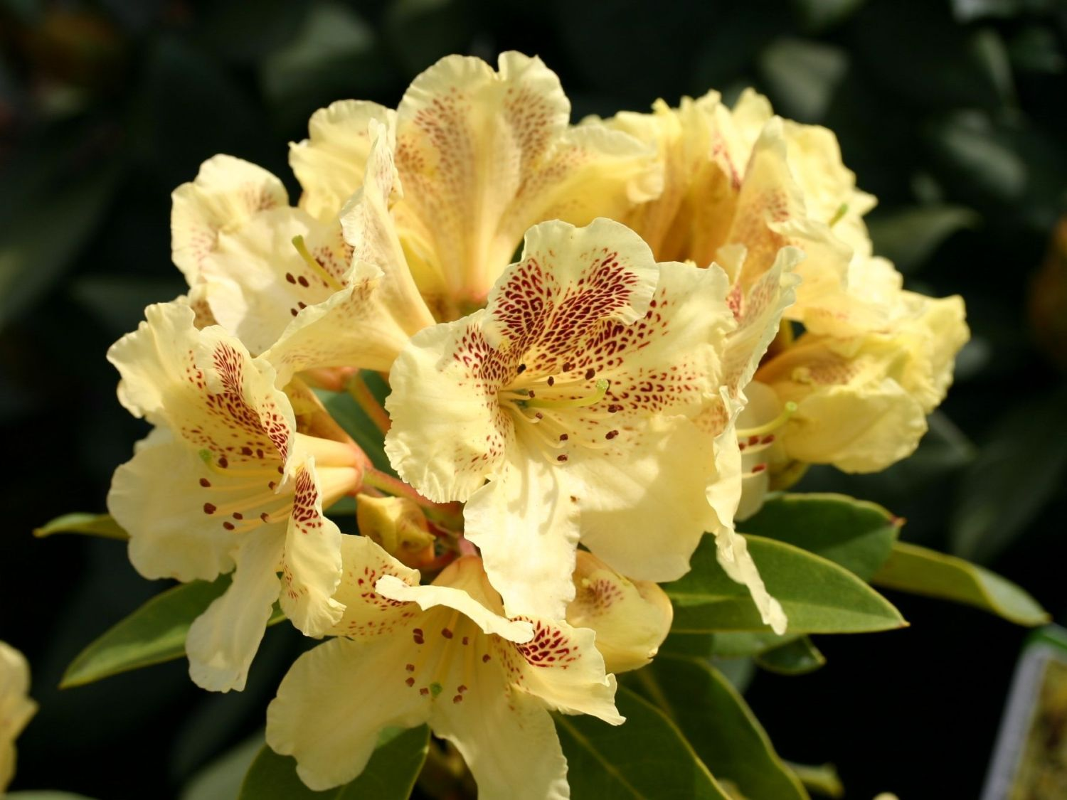 rhododendron 39 goldsprenkel 39 rhododendron wardii. Black Bedroom Furniture Sets. Home Design Ideas