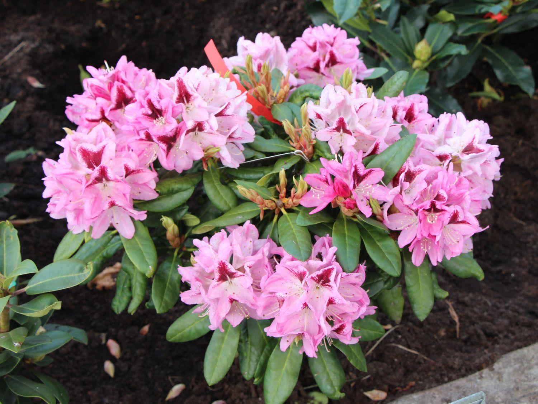rhododendron 39 kalamaika 39 rhododendron hybride 39 kalamaika. Black Bedroom Furniture Sets. Home Design Ideas