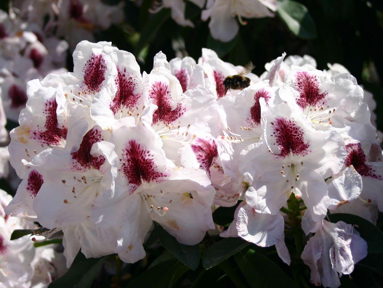 rhododendron 39 marsalla 39 rhododendron hybride 39 marsalla. Black Bedroom Furniture Sets. Home Design Ideas