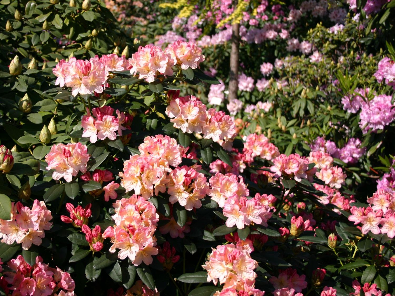 rhododendron 39 percy wiseman 39 rhododendron yakushimanum. Black Bedroom Furniture Sets. Home Design Ideas