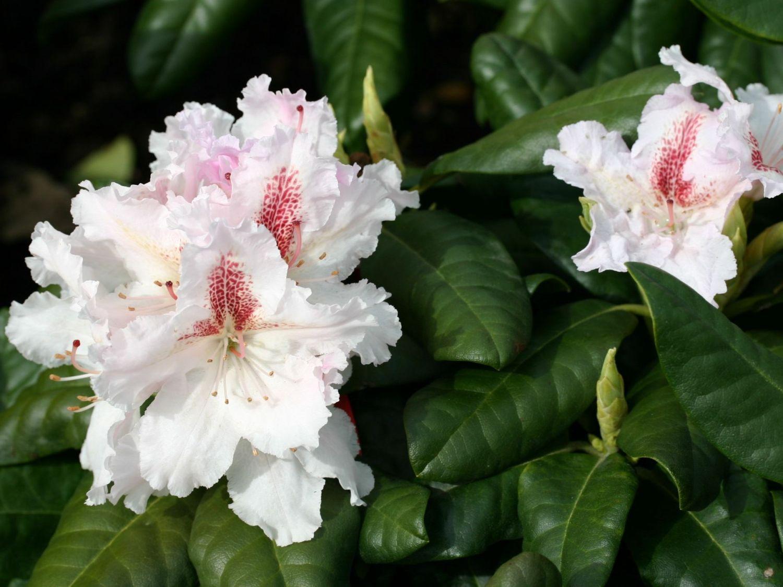 rhododendron 39 progres 39 rhododendron hybride 39 progres. Black Bedroom Furniture Sets. Home Design Ideas