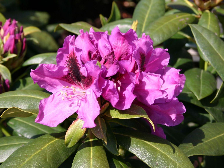 rhododendron 39 rasputin 39 rhododendron hybride 39 rasputin. Black Bedroom Furniture Sets. Home Design Ideas
