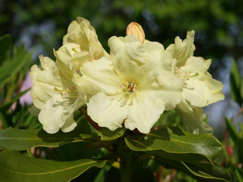 rhododendron 39 simson 39 rhododendron hybride 39 simson 39 baumschule horstmann. Black Bedroom Furniture Sets. Home Design Ideas