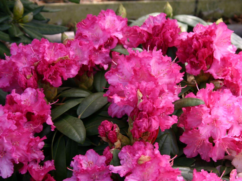 rhododendron 39 tatjana 39 rhododendron yakushimanum 39 tatjana 39 baumschule horstmann. Black Bedroom Furniture Sets. Home Design Ideas