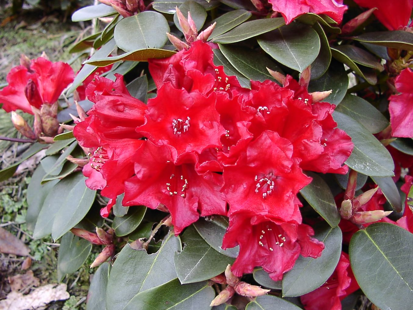 rhododendron standort 180 best images about flowers. Black Bedroom Furniture Sets. Home Design Ideas