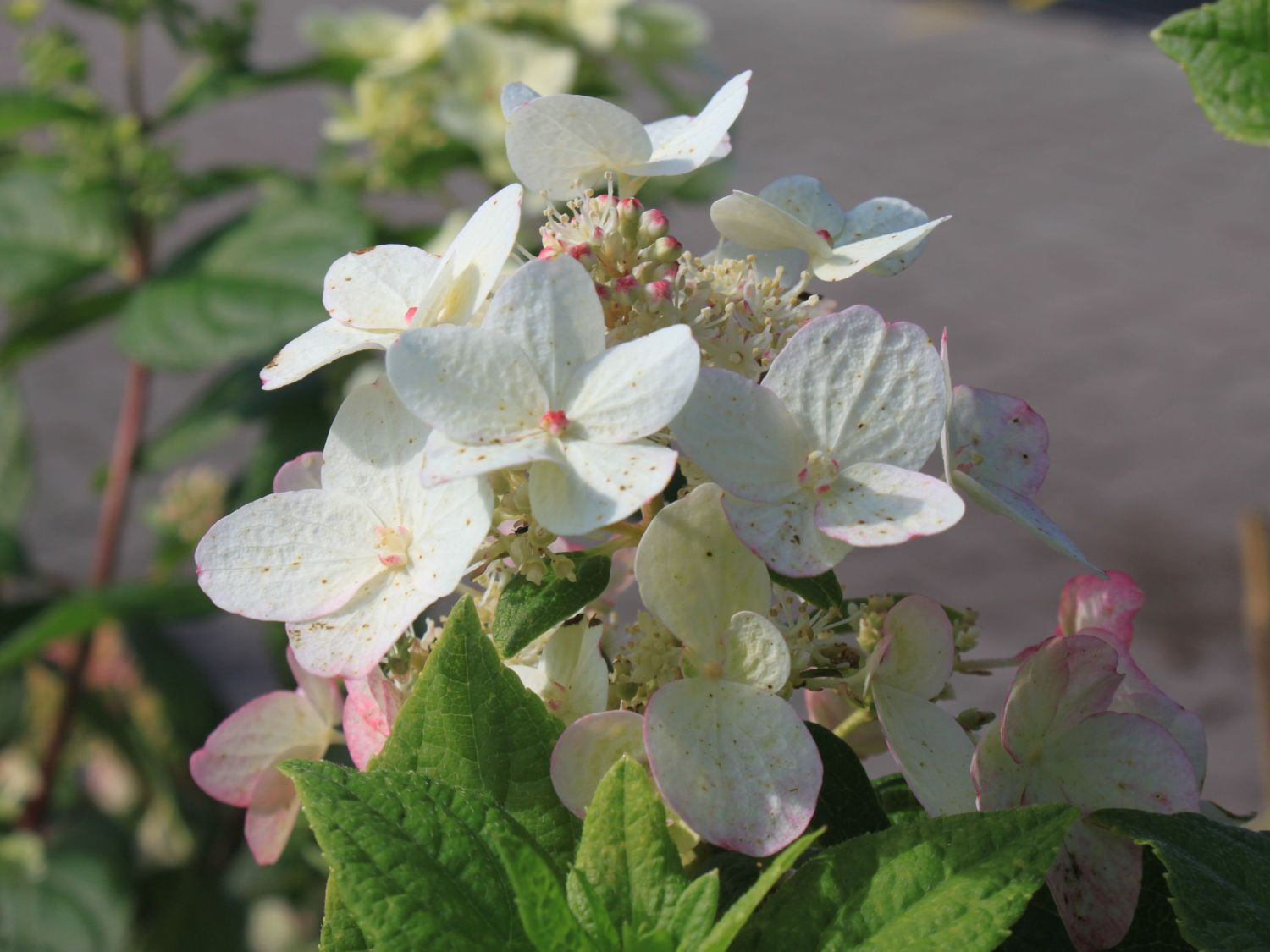 rispenhortensie 39 dart 39 s little dot 39 hydrangea paniculata. Black Bedroom Furniture Sets. Home Design Ideas