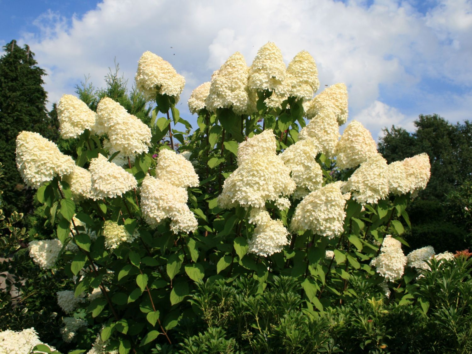 hydrangea paniculata. Black Bedroom Furniture Sets. Home Design Ideas