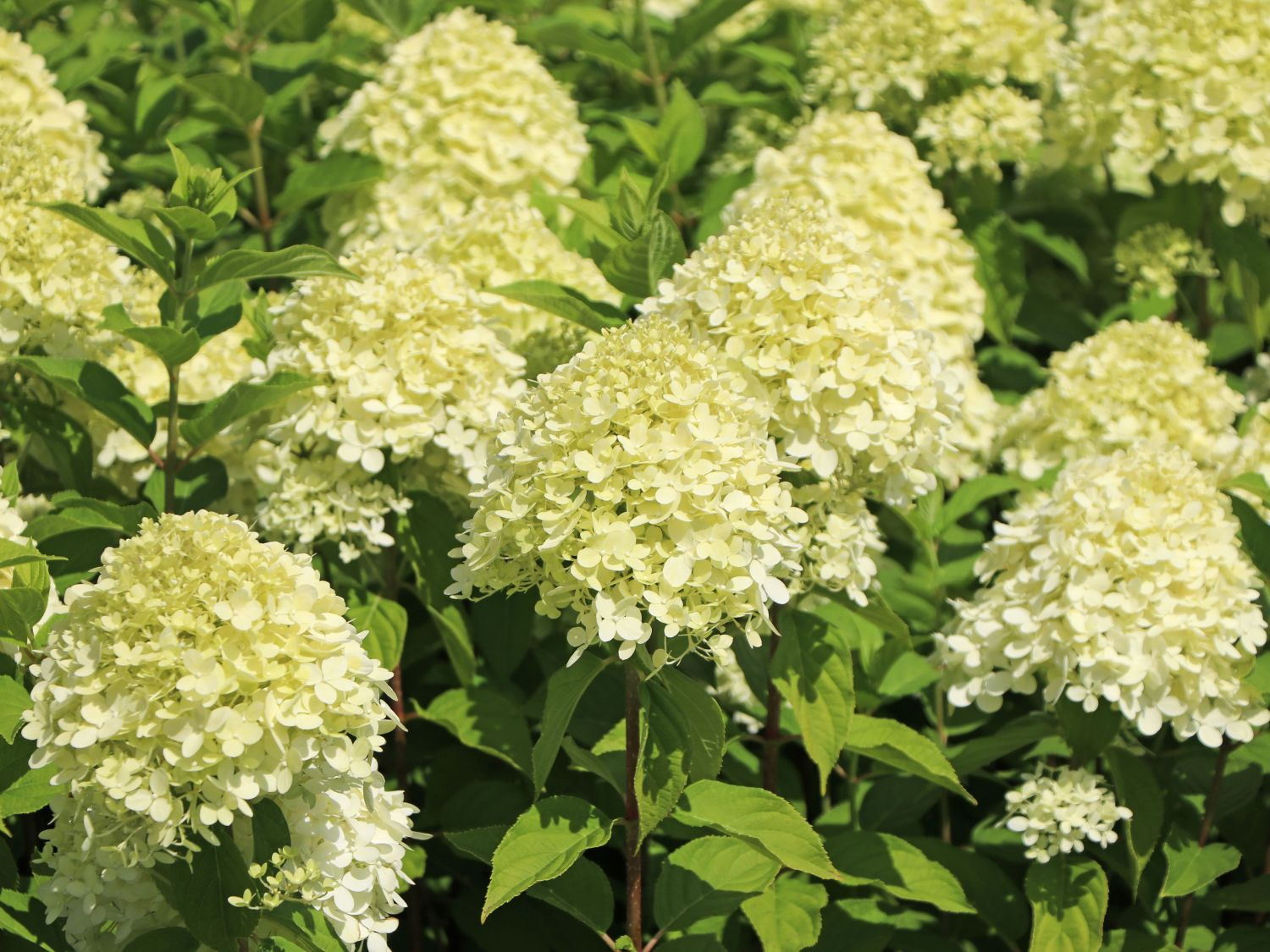 rispenhortensie 39 limelight 39 hydrangea paniculata. Black Bedroom Furniture Sets. Home Design Ideas