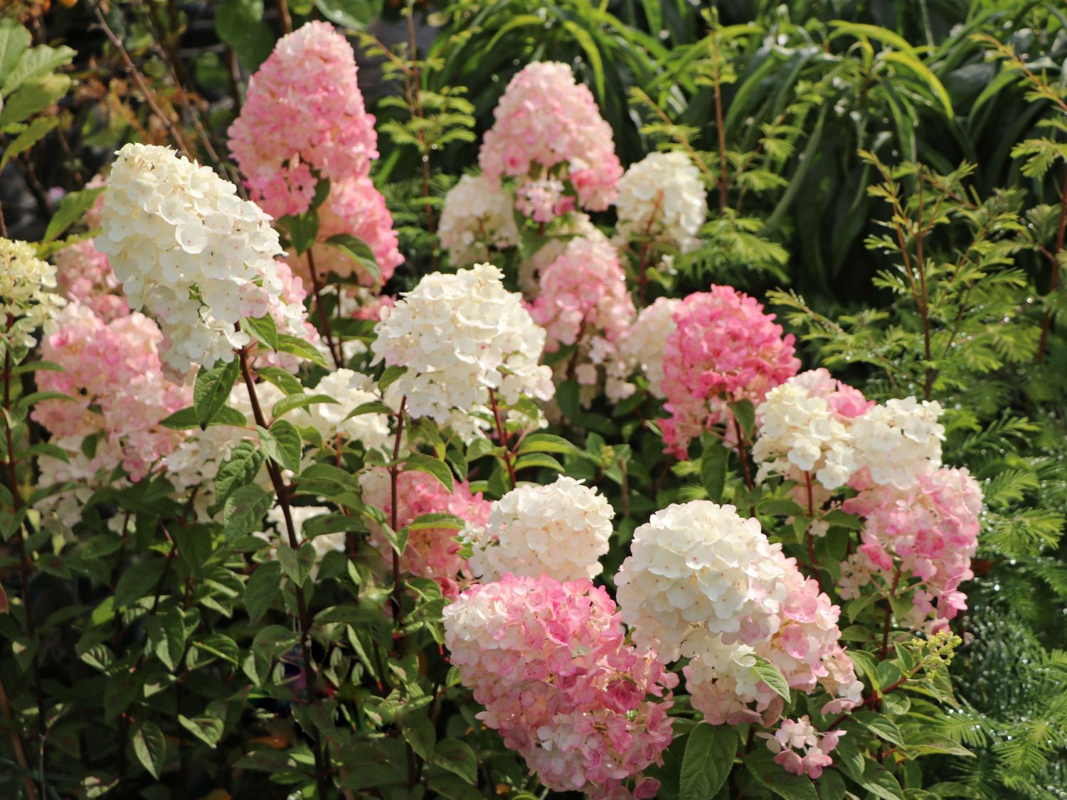 rispenhortensie 39 sundae fraise 39 hydrangea paniculata. Black Bedroom Furniture Sets. Home Design Ideas