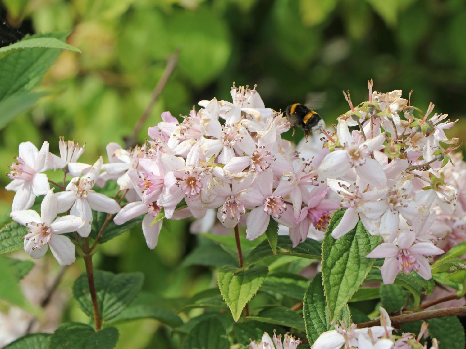 Rosendeutzie Strawberry Field 60-80cm Deutzia hybrida