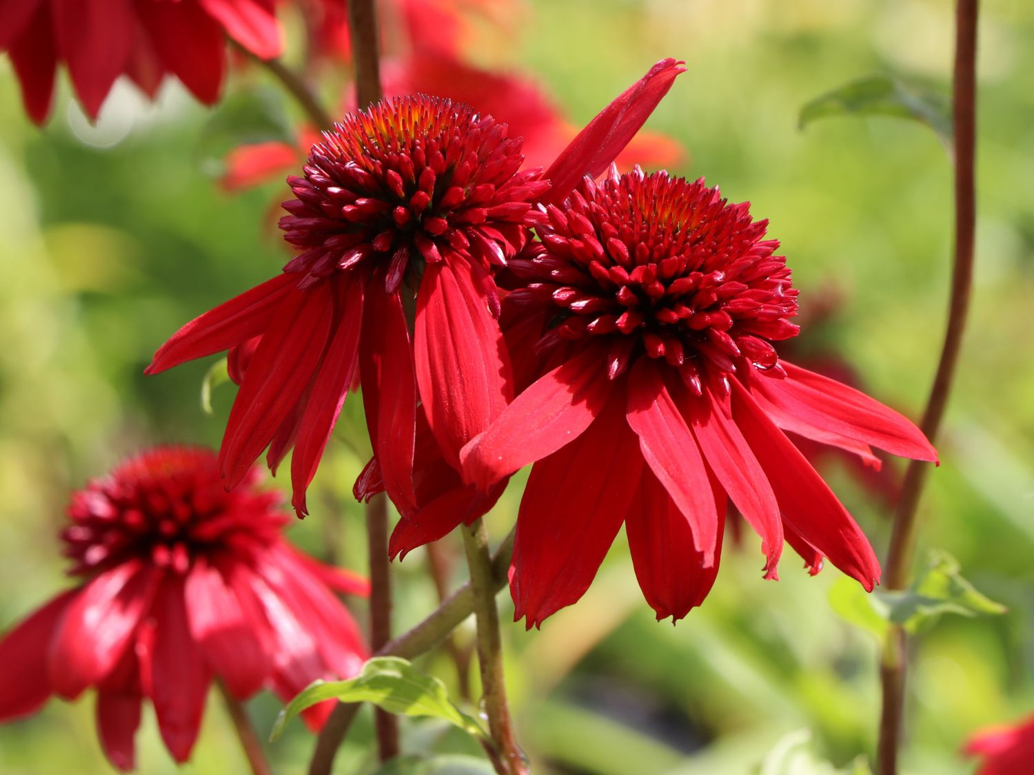 scheinsonnenhut 39 eccentric 39 echinacea purpurea. Black Bedroom Furniture Sets. Home Design Ideas