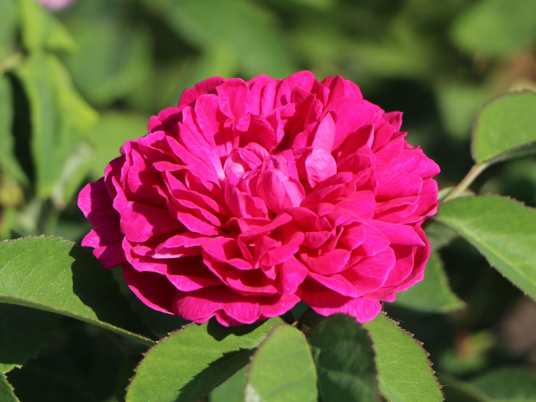 strauchrose 39 rose de resht 39 rosa 39 rose de resht 39 baumschule horstmann. Black Bedroom Furniture Sets. Home Design Ideas