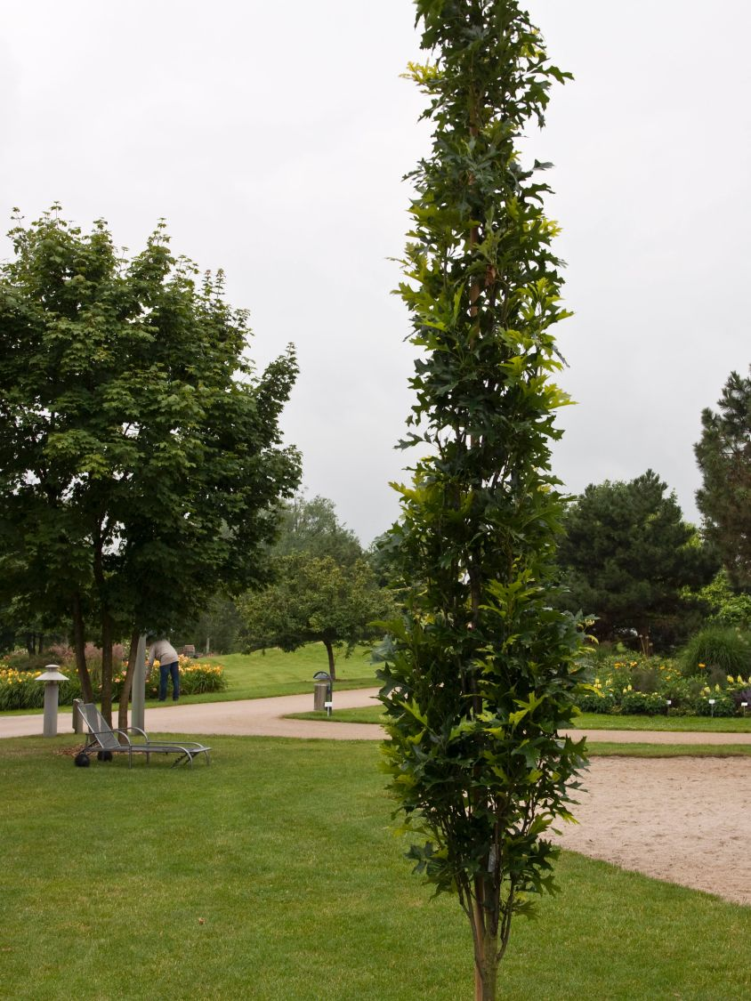 Säulenförmige Sumpfeiche Quercus palustris Green Pillar