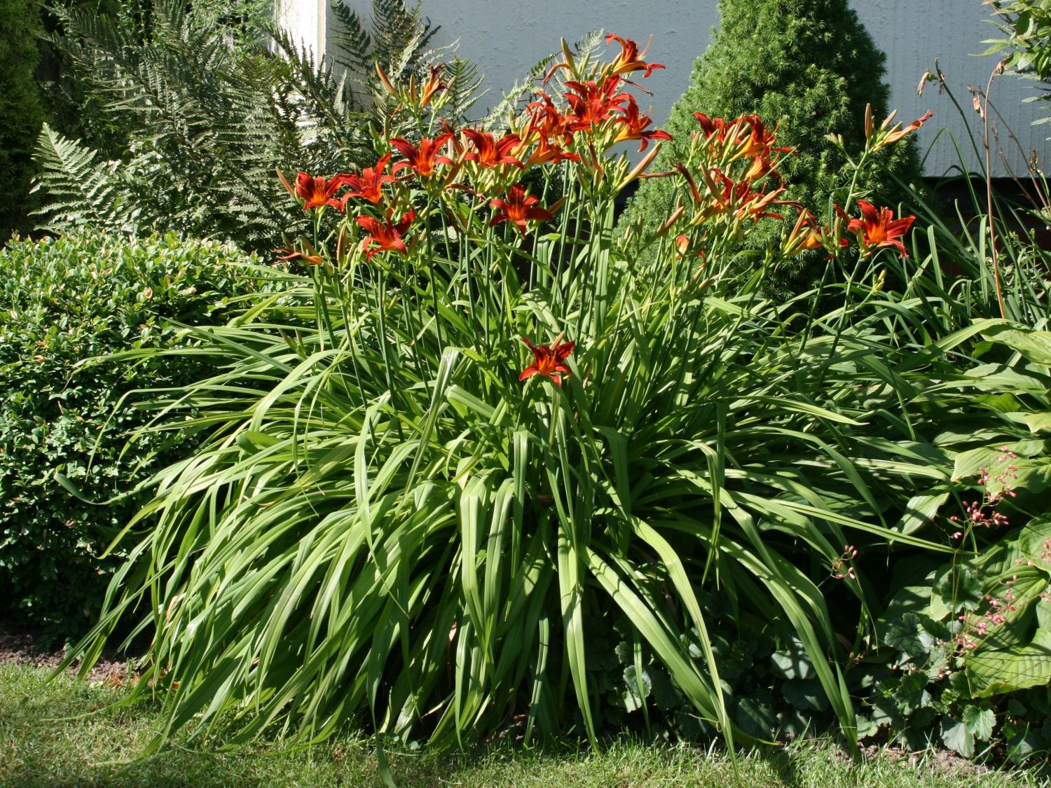 Taglilie Crimson Pirate Hemerocallis X Cultorum
