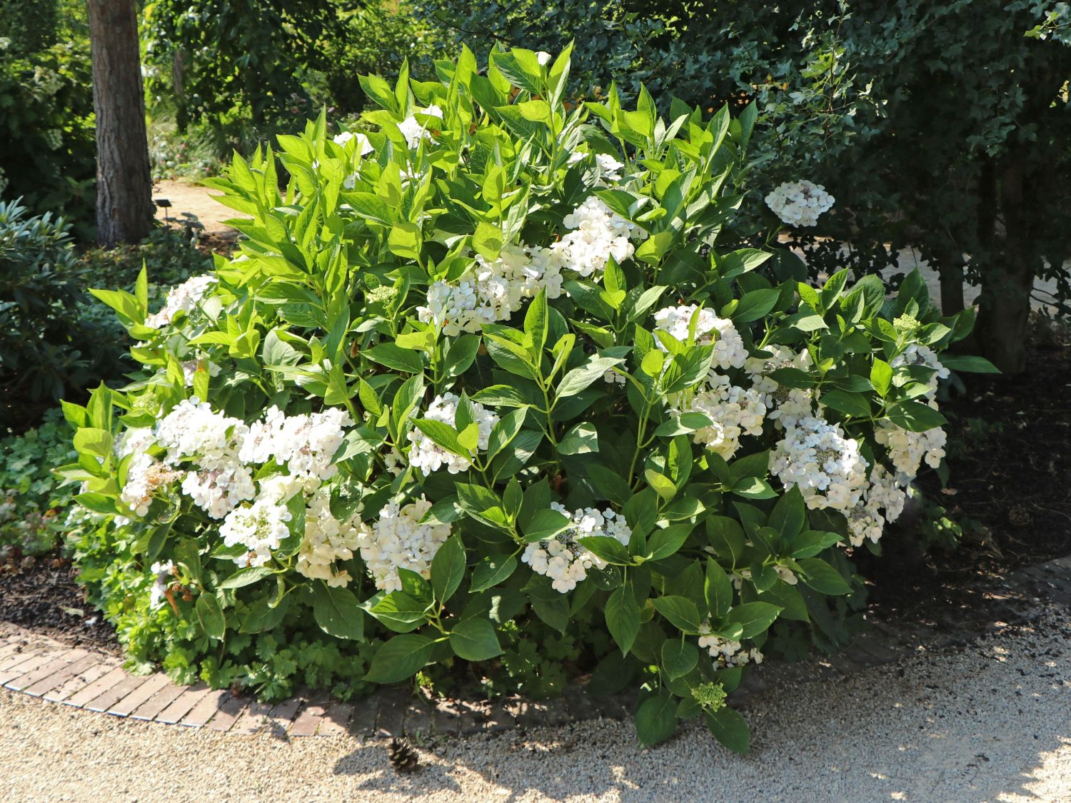 tellerhortensie 39 lanarth white 39 hydrangea macrophylla. Black Bedroom Furniture Sets. Home Design Ideas