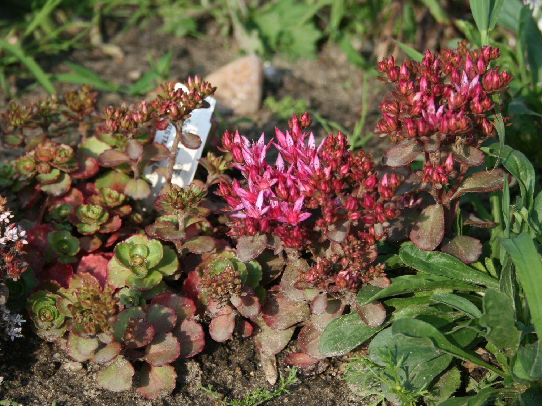 TeppichFettblatt Purpurteppich  Sedum spurium